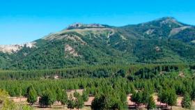 Revelan que la forestación con pino secuestró más carbono que la nativa en la Patagonia