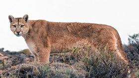 Pumas en la Patagonia están siendo estudiados con conexión satelital