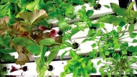 Consejos para cultivar espinacas, endivias y acelgas usando hidroponia