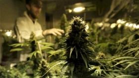 Habilitan la comercialización de semillas de cannabis