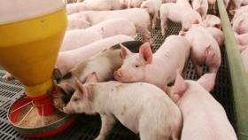 """Otra cara de la fiebre de los granos: Los productores de cerdos afirman que el precio actual del maíz es """"insostenible"""" y los condena a perder dinero"""