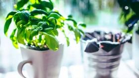 ¿Cómo cultivar Albahaca en primavera?