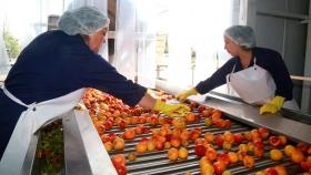 La cooperativa Pulpera de San Rafael procesó un millón de kilos de durazno