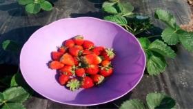Comenzó la cosecha de frutillas en el Chaco