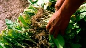 La sequía impacta muy fuerte en el tabaco y otras producciones misioneras