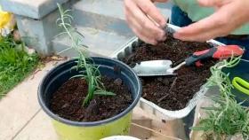 Cómo reproducir una planta de romero