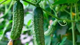 Cómo sembrar, cultivar y cosechar pepinos