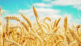 La tecnología en el trigo