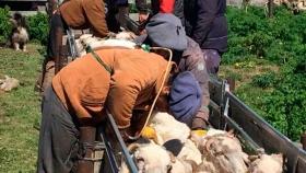 El sector ganadero provincial organiza su ciclo de esquila en el marco de la pandemia