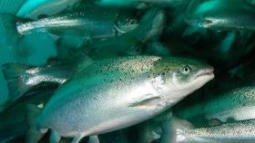 Salmones de cultivo son sexualmente menos atractivos que los silvestres