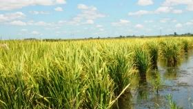 Arroceros de Marban planifican cosecha de verano con marcado optimismo
