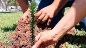 Colocan araucarias en diferentes sitios de Neuquen