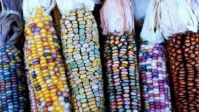 ¿México comienza a rever su histórica postura en contra del maíz transgénico?