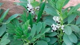 Claves para el éxito en el cultivo de habas