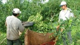 Pequeños productores correntinos de yerba mate apuestan a la industrialización de hoja verde