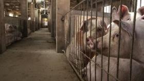Autorizan el ingreso de cerdos reproductores de Canadá