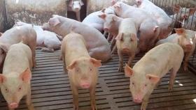 4 Instalaciones Que Deben Estar Presentes En Cualquier Granja De Cerdos De Engorde