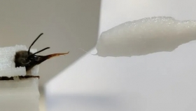 Entrenan abejas para detectar casos de Covid