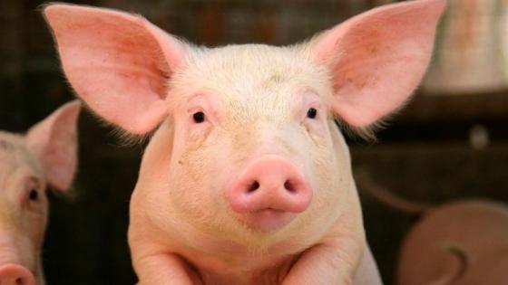 Siguiendo el camino europeo: cómo producen carne porcina las dos empresas líderes del sector