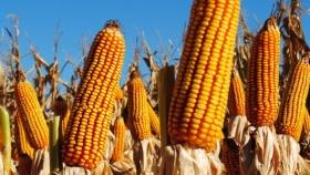 Prevén una baja de 2% de la producción de maíz en áreas de Bolsa Cereales bahiense