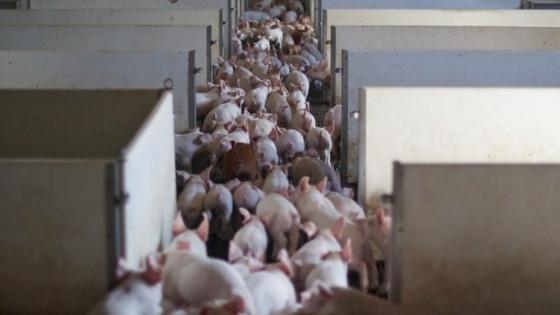 Rusia estará entre los mayores productores de carne de cerdo para 2025