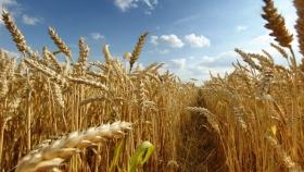 Destacan incremento del cultivo del trigo y maíz en la región núcleo