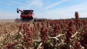 Largó la cosecha de sorgo granífero