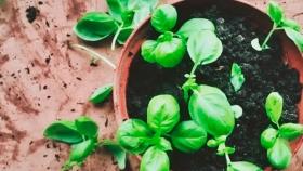 Cómo cultivar y cuidar la albahaca en interiores