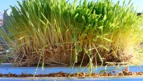 La producción de forraje hidropónico: una solución novedosa en épocas de sequía