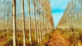 Presentan clones de álamos y sauces seleccionados para la Patagonia
