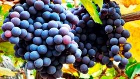 Por qué elegir un Pinot Noir argentino