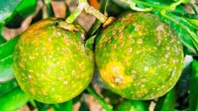 Continua la lucha contra el HLB en los citricos