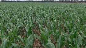 El contrato a cosecha de maíz subió 33% hasta su valor más alto en 8 años