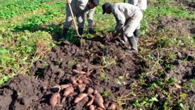Dulce de batata: una alternativa de diversificación para los minifundistas cañeros de Simoca