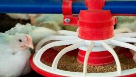 Comedero de pollos de automático de Avicorvi