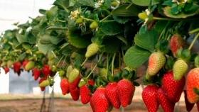 Cómo germinar semillas de frutilla: los mejores trucos