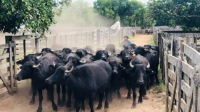 Gran encierre de búfalos, con una demanda cada vez mayor por la especie