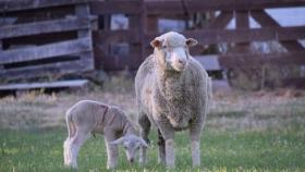 El frigorífico ovino que tracciona la vuelta a la zona rural en Mansilla