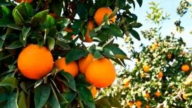 Identifican mecanismo genético clave para potenciar la producción de naranjas