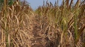 Los incendios y la sequía amenazan la próxima cosecha de caña de azúcar en SP