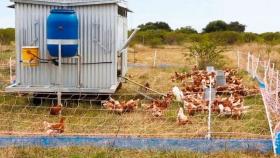 El primer gallinero móvil y agroecológico del país