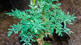 Ruda: mitos y tradiciones de una planta hermafrodita
