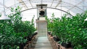 La Eeaoc garantiza que los viveristas dispongan de semillas y de yemas cítricas de calidad