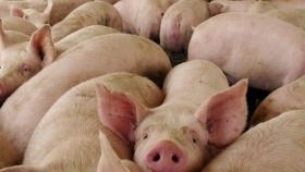 La producción europea de carne de cerdo creció 6% en el 1er trimestre de 2021