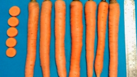 Presentan una nueva variedad de zanahoria