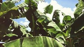 La producción de bananas se mantiene a flote en Colombia