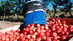 Se pone en marcha la cosecha de peras y manzanas en el Alto Valle, donde se aguarda la llegada de 20 mil trabajadores temporarios