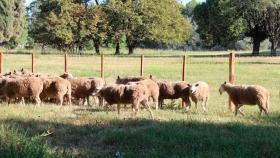 Entre Ríos respalda la cadena cárnica de ovinos