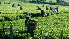 El consumo y la producción mundial de té, impulsados por la fuerte demanda en China y la India