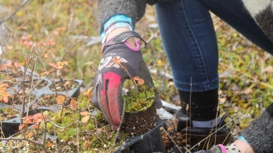 Se plantaron más de 10 mil renovales de lenga en el marco del plan de restauración del bosque nativo